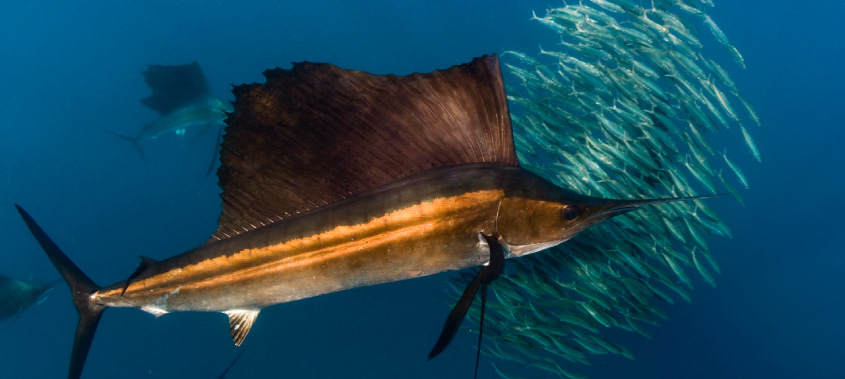 sailfish2x