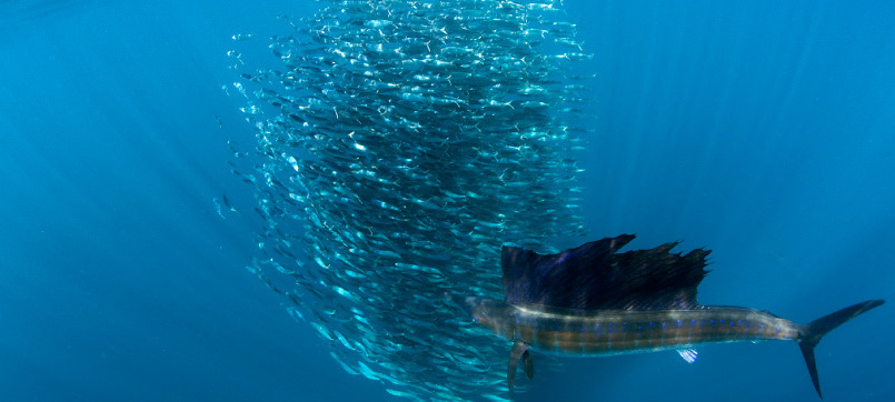 sailfish3x
